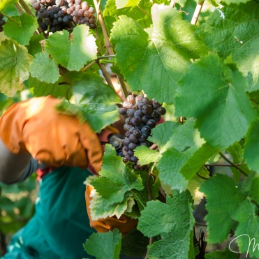 Cutting the grapes by hand